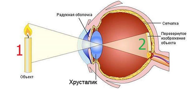 Как работает орган зрения