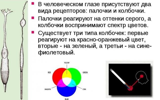 Цветовые колбочки органа зрения